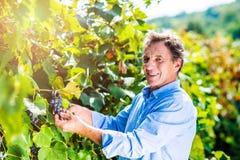 Senior man in blue shirt harvesting grapes in garden Royalty Free Stock Photos