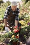 Senior man caring about garden flowers Stock Photos