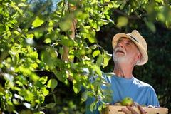Senior man checking fruit in the garden Stock Photography