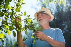 Senior man checking fruit in the garden Royalty Free Stock Photo