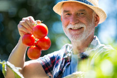 Senior man checking holding tomato in the garden Royalty Free Stock Photos