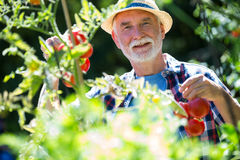 Senior man checking vegetables in the garden Stock Image