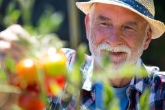 Senior man checking vegetables in the garden Royalty Free Stock Photo
