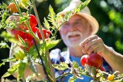 Senior man checking vegetables in the garden Stock Photography
