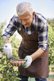 Senior man collecting berries Stock Images