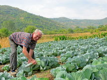 Senior man cultivating cabbege Stock Photo