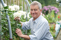 Senior Man Cultivating Flowers In Garden Stock Photography