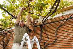 Senior man cutting grapes from a vine. royalty free stock image