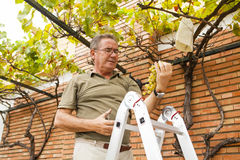 Senior man cutting grapes from a vine. stock photo