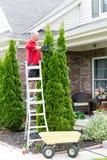 Senior Man Cutting Thuja Using Hedge Trimmer Stock Photo