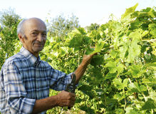 Senior man cutting vine Stock Photos