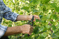 Senior man cutting vine Stock Images