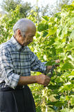 Senior man cutting vine Royalty Free Stock Photos