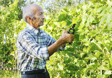 Senior man cutting vine Royalty Free Stock Photo