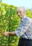Senior man cutting vine Royalty Free Stock Images