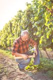 Senior man examining the grapes in the vineyard. stock images