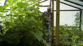 Senior man examining growing of plants in the greenhouse. Senior man checking the sprouts in the greenhouse. Mature man growing eco vegetables and caring about stock video footage