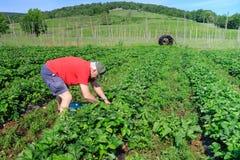 Senior Man Field of Strawberries stock photos