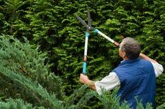 Senior man gardener cut a hedge. In the garden stock image
