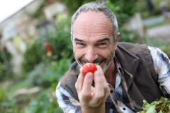 Senior man gardening tomatoes Stock Images
