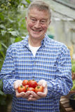 Senior Man In Greenhouse With Home Grown Tomatoes Royalty Free Stock Image