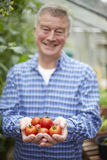 Senior Man In Greenhouse With Home Grown Tomatoes Royalty Free Stock Photo
