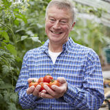 Senior Man In Greenhouse With Home Grown Tomatoes Royalty Free Stock Images