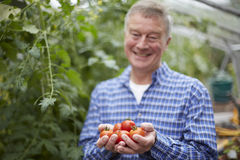 Senior Man In Greenhouse With Home Grown Tomatoes Stock Photo