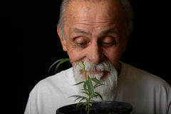Senior man Grows marijuana stock photo