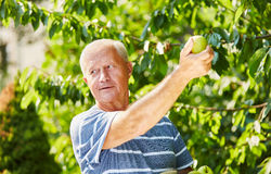 Senior man in the harvesting of green apples Stock Photography