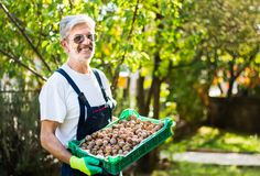 Senior holding box full of walnuts Royalty Free Stock Image