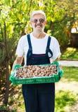 Senior holding box full of walnuts Stock Photos