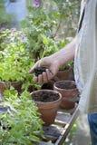 Senior Man Holding Sapling In Greenhouse Stock Photo