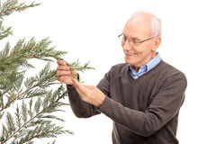 Senior man looking at a coniferous tree Royalty Free Stock Images