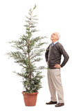 Senior man looking at a potted coniferous tree Stock Image