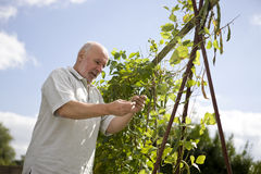 A senior man looking at runner beans on an allotment Royalty Free Stock Images