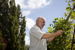 A senior man looking at runner beans on an allotment Royalty Free Stock Photo