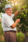 Senior man picking apples in his orchard Stock Image