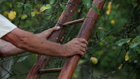 Senior man picking apples from a tree. HD1080p: Close up of a senior man picking apples from a tree stock video