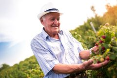 Senior man picking blackberries. In an orchard royalty free stock photography
