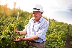 Senior man picking blackberries. In an orchard stock image