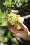 Senior man picking a bunch of grapes royalty free stock photography