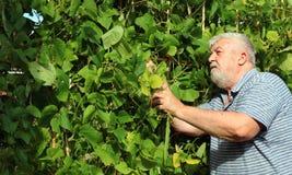 Senior man picking climbing beans in his garden. Royalty Free Stock Photography