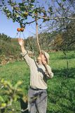 Senior man picking apples with a wood stick Royalty Free Stock Photos