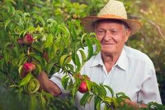 Senior man picking peaches Stock Image