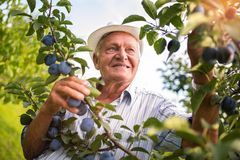 Senior man picking plums. In an orchard royalty free stock images