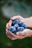 Senior man picking plums in an orchard Stock Photos