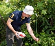 Senior man picking raspberries Royalty Free Stock Photo