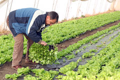 Senior Man Planting Lettuce. Farmer planting lettuce seedlings in greenhouse. Selective focus on the farmer's face Royalty Free Stock Image