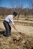 Senior man planting a plum tree Royalty Free Stock Images